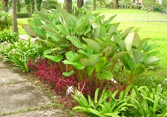 heliconia bihai (rhmn) Tags: red plant palms spider lily outdoor landscaping small palm tropical around plans ideas shrubs ovata littoralis hymenocallis justica