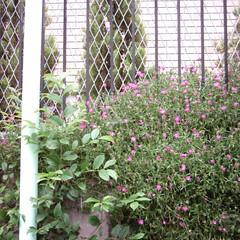 【写真】ミニデジで撮影した石垣の上に咲くピンクの花