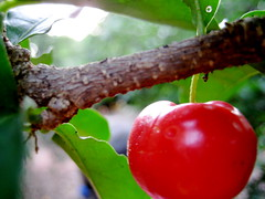 acerola (parttimefarm) Tags: macro tree brasil fruit farm acerola echapora