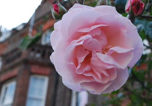 Large Roses - Pink 01
