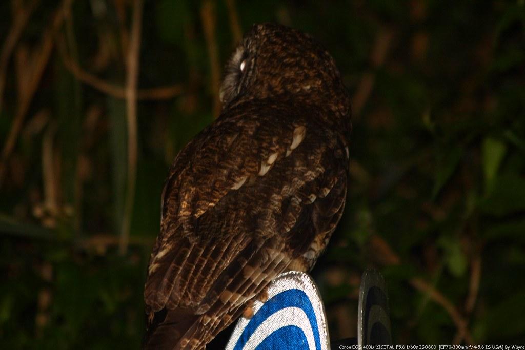 Tawny Wood Owl 灰林鴞 - IMG_8847