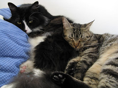 Waking.... (veganmichele) Tags: blue rescue pet cute love animal cat snuggle sleep feral efa veganetsy