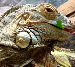 Collard greens are good (EcoSnake) Tags: animals wildlife bert lizard soe reptiles herps guatamala iguanaiguana greeniguana blueribbonwinner