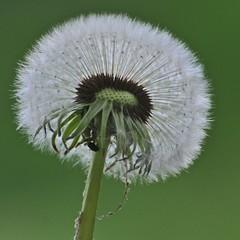 Inner details (jaaabeee) Tags: flower nature spring dandelion d300 aplusphoto