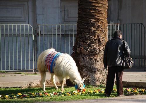 just out grazing the llama/ salí a puro pastar la llama, y qué?