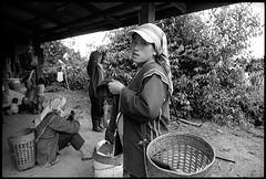 mae salong, northern thailand (avant1997) Tags: leica portrait blackandwhite thailand tea maesalong teapicking