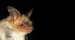 Grand murin (Myotis myotis) (biollaz) Tags: suisse batman wallis bats valais faune chauvessouris abigfave chrio