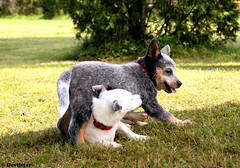 Australian Cattle Dog puppy with Jack Russel Terrier Puppy (Devilstar) Tags: blue two dog playing dogs puppy jack puppies cattle russel australian terrier heeler austraalia terjer karjakoer