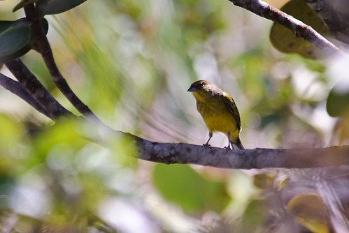 Stripe-tailed Yellow-Finch by sjdavies1969.