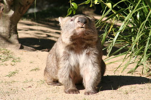 A face only a mother wombat could love?