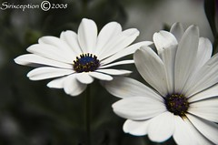 Your Joy (sirixception) Tags: flowers white netherlands leiden meetup nederland meeting wit paysbas breathtaking bloemen topshots bej abigfave flowersgalore citrit brillianteyejewel top20white excellentsflowers favesextreme10 favesextreme15 favesextreme20 favesextreme5 natureselegantshots mimamorflowers qualitypixels damniwishidtakenthat flickrflorescloseupmacros panoramafotogrfico meetleiden080713