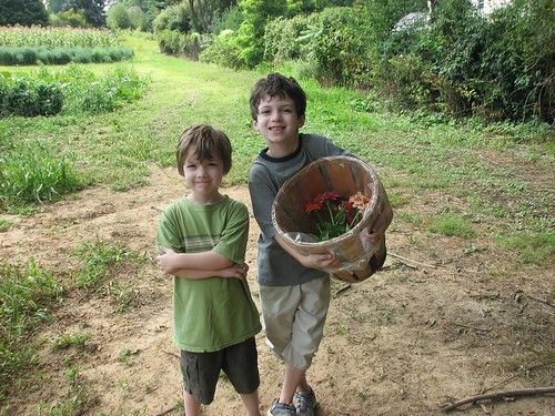 Picking zinnias