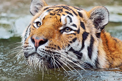 Swimming tiger (Tambako the Jaguar) Tags: wild portrait male water closeup swimming cat zoo schweiz switzerland big eyes nikon feline stripes tiger zurich young kitty coto explore bigcat zrich wildcat tigris siberiantiger tigre striped felid amurtiger d300 panthera pantheratigris specanimal mywinners impressedbeauty aplusphoto thebestofday gnneniyisi flickrlovers vosplusbellesphotos