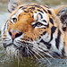 tiger image, photo or clip art