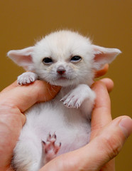 Fennec fox (floridapfe) Tags: baby cute animal zoo nikon desert fox fennec everland  fennecfox naturesfinest d80 anawesomeshot aplusphoto theunforgettablepictures