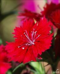 red... (bench_30) Tags: red flower macro nature nikon dof bloom d60 bej diamondclassphotographer flickrdiamond macromarvels theperfectphotographer wonderfulworldofflowers
