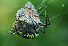 Painted Lady in the web