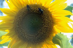 sunflower (malamoose beadery) Tags: summer plant flower macro yellow garden photography photo yellowflower bee sunflower nectar honeybee upclosephotography