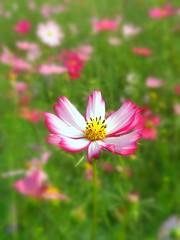 Blushing cosmos (tanakawho) Tags: pink plant flower macro green nature yellow bush dof bokeh center petal edge cosmos blushing  tanakawho brillianteyejewel