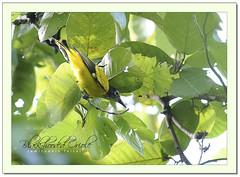 Black-hooded Oriole (Oriolus xanthornus), Juvenile (Z.Faisal) Tags