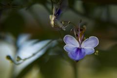 """suspiro fantasmal"" (Tinta China2007) Tags: flores bokeh mariposa sombras suspiros azules fantasmal fanfarria"