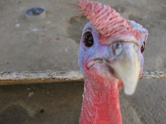 Curious Turkey Closeup