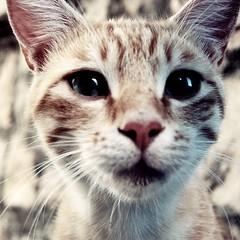 Come tutte le creature pure, i gatti sono pratici (Ilaria ♠) Tags: cat kitten 1855 gatto croazia d40 nikond40 kittyschoice