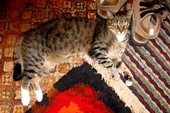 Beck (Hairlover) Tags: pet cats pets public cat kitten tabby kitty kittens kitties hairlover allcatsnopeople