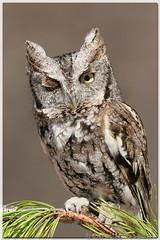 Wink-Wink (Wolfgang Wander) Tags: gimp owl easternscreechowl screechowl otusasio outstandingshots quoguewildliferefuge vosplusbellesphotos wwcsig