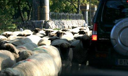 Schafe ums Auto