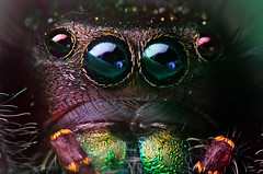 Phidippus audax at ~7:1-8:1 Full Frame (Thomas Shahan) Tags: portrait macro face k vintage lens prime spider jumping eyes close asahi pentax takumar zoom head arachnid flash small 28mm tubes extension reversed dslr ist vivitar bellows softbox dl f28 diffuser audax opo arachnology arthropod macrophotography bayonet salticid phidippus thyristor terser entomolgy justpentax