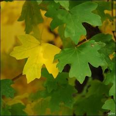 Herbst / Autumn (digitus_malus) Tags: autumn green yellow maple herbst explore gelb nikkor leafs blaetter gruen d300 rhizome ahorn explored colorphotoaward 1685mmf3556gvr 1685vr