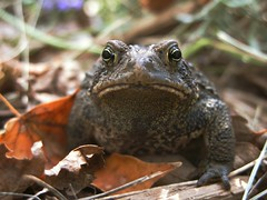 I met this fine gentleman today, (mereshadow) Tags: love fairytale eyes afternoon lavender toad lovely amphibians silliness heavenly scented layering toadlillies lilytoad
