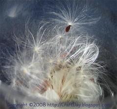 milkweed_02
