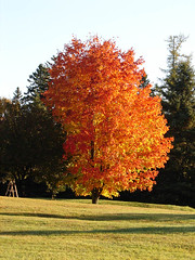 Tree on fire (Hodgey) Tags: autumn color tree treeonfire forlynn