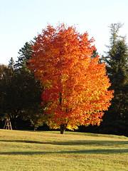 Tree on fire (Hodgey) Tags: autumn color tree treeonfire forlynn