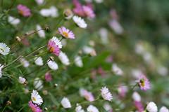 Embankment (mamacroft) Tags: macro daisies october meadow embankment lateflowering