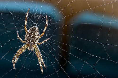 Quebec Spider (Orb-weaver spider)