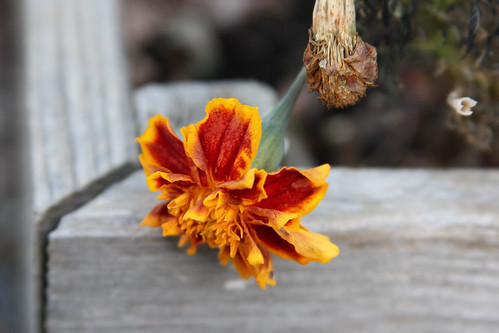 Dying Marigold by interchangeableparts