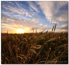 Golden Harvest (Vertorama) (Panorama Paul) Tags: sunset squares soe durbanville wheatfield novideo nohdr mywinners shieldofexcellence platinumphoto nikfilters vertorama nikond300 goldstaraward artinoneshot wwwpaulbruinscoza
