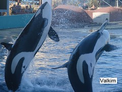mlf1804 (valkim) Tags: killer whale orca marineland orque