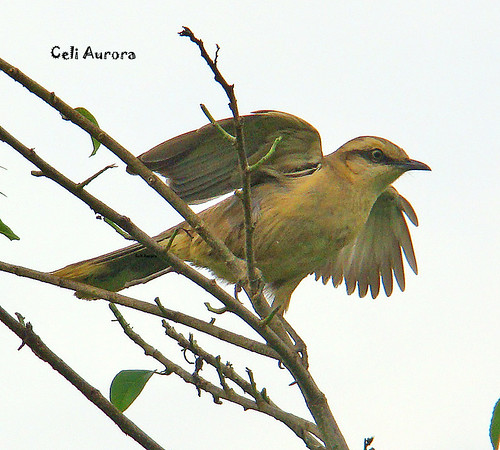 Mimus saturninus ( Sabiá-do-campo ou Calandra ou Sabiapoca ou Arrebita-rabo ) Chalk-browed Mockingbird -  1440B
