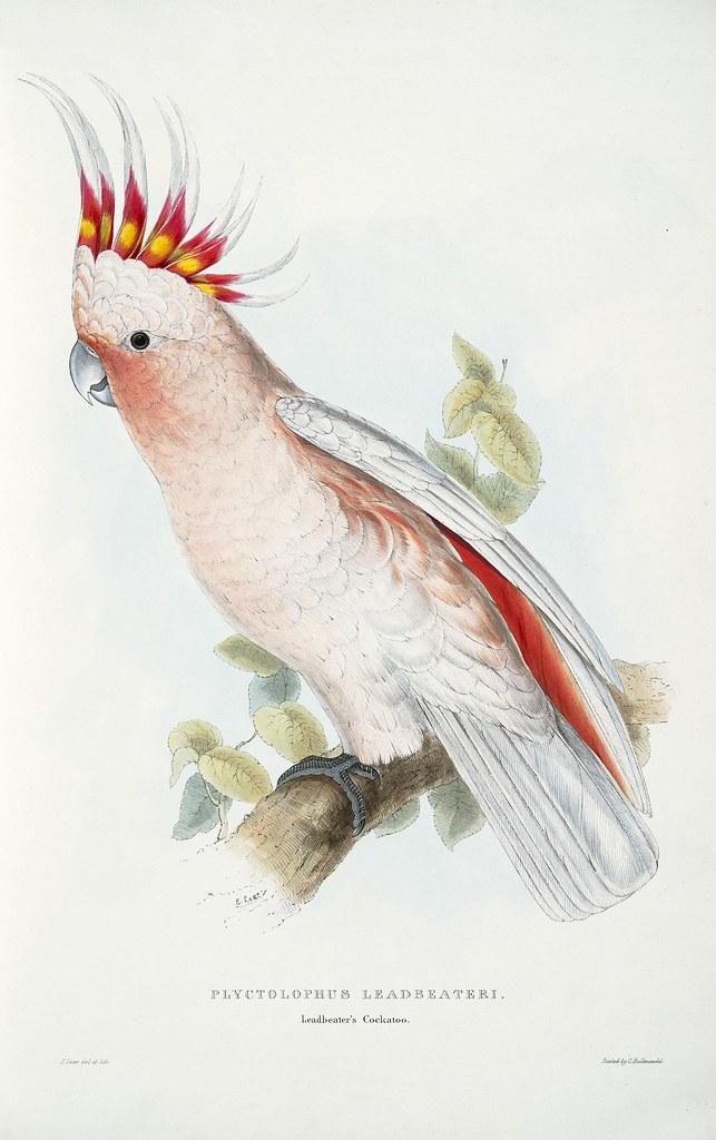 Plyctolophus leadbeateri. Leadbeater's cockatoo