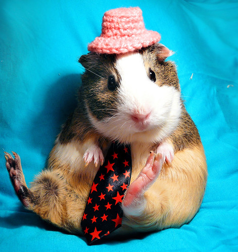 English Gentleman Balbinka guinea pig