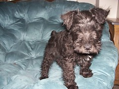 Dobby the Miniature Schnauzer Growing Up