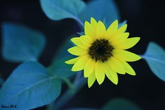 Nature Light (Nouf Alkhamees) Tags: flower green nature yellow lights sunflower kuwait alk nono    alkuwait    noof nouf       flickrlovers