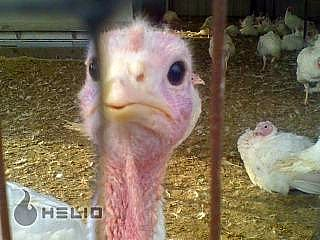 Turkey face