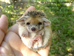 Guess Who ? (BlueLunarRose) Tags: baby cute beauty spiky explore hedge hedgehog hedg