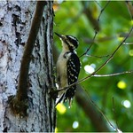 Hairy Woodpecker thumbnail
