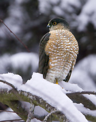 Scenes from a West Coast Snow Storm... :-( TROUBLE!  (Sharp-shinned Hawk)